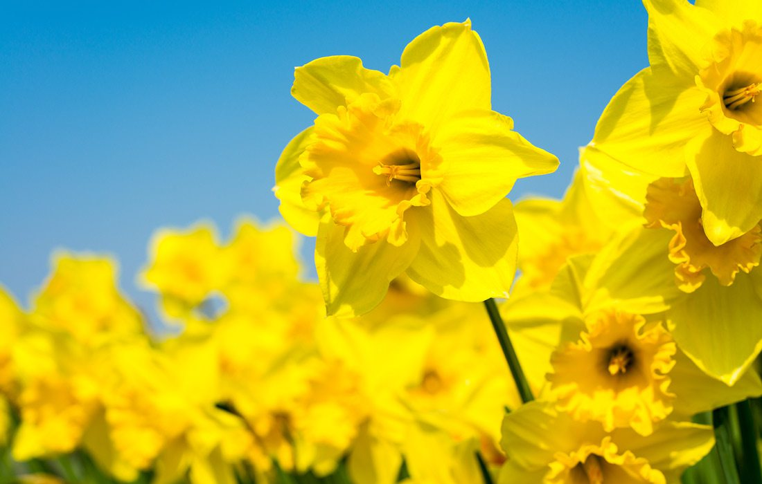 Daffodils in spring with blue sky background.