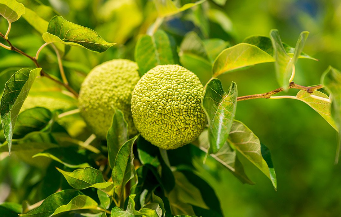 Osage Oranges on a tree