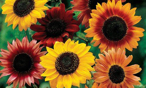 Sunflower celebration in Stotts City, MO