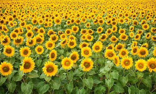 Golden Grove Sunflower Festival