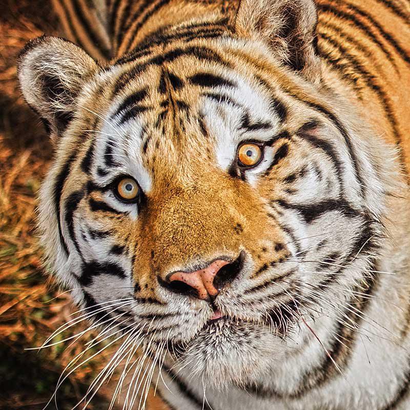 National Tiger Sanctuary tiger