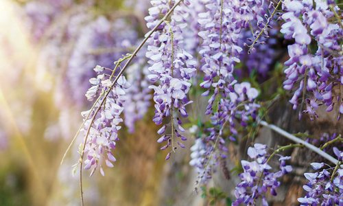 Take a Whimsical Wisteria Walk this Summer